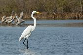 Great White Egret Wading In Shallow Water