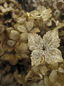 Dried Hydrangeas in Textured Background with Singl