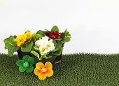 picture of primrose  - some Colorful primroses with nice smiling flowers - JPG