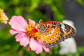 stock photo of zinnias  - Close up of male leopard lacewing  - JPG