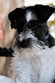 stock photo of schnauzer  - Parti - JPG