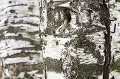 Abstract Texture Of Birch Bark
