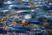 Jellyfish, Seydisfjordur Iceland33