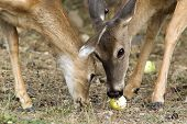 Mother An Fawn Eat.