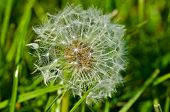 image of lint  - dandelion flower shallow depth of field lint end of summer - JPG