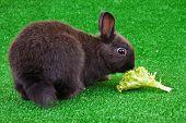 Domestic Rabbit Eating Salad poster
