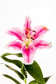 Lilly Flower Isolated On White Background