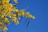 Flowers Of Golden Wattle. Acacia Pycnantha Macro Photo