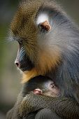 Mandril Mother With Young