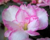 Blossoming Of Rose Azalea