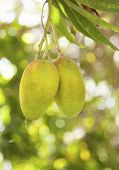 image of mango  - Mango On Tree two mangoes one tree