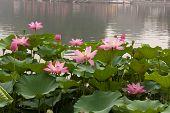 Lotus In Bloom In Beihai Park, Beijing