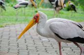 Stork In A Park In A Zoo