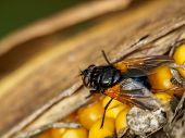 Fly On Maize