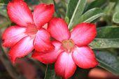 image of desert-rose  - Desert Roses - JPG