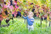 Sweet Baby Girl With Curly Hair Playing In A Beautiful Autumn Vine Yard Eating Fresh Ripe Grapes