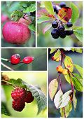 picture of chokeberry  - Autumn fruits and berries photo composition  - JPG