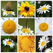 Collage With Beautiful Leucanthemum Flowers