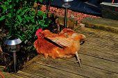 Rescue Hen Sun Bathing.