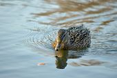stock photo of duck pond  - A female mallard duck floating on the pond - JPG