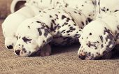 many puppies dalmatian close up newborn