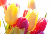 Close Up Of Sunny Tulip Flower Meadow Isolated With Water Drop