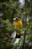 An Evening Grosbeak On Fir Tree