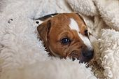 stock photo of jack russell terrier  - Puppy of Jack Russell Terrier looks from blanket - JPG
