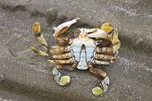 Crab On A Background Of Sand