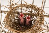 New Born Birds In The Nest, Samut Sakhon, Thailand
