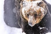The Snow Brown Bear, Hokkaido, Japan