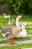 White And Grey Geese On Natural Green Background