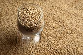 image of malt  - Beer glass full of barley malt standing on malt grains - JPG
