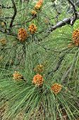 pic of pinus  - A branch of Pinus roxburghii with many newly developed male cones - JPG