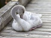 The baby bird of a swan cleans feathers on the mooring