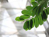 Antiaris toxicaria leaf