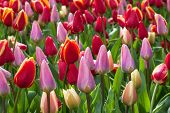 Spring Flowers Background Multicolored Tulips