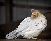 Icelandic hen chicken