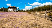 Lonely House On A Meadow Full Of Crocus.