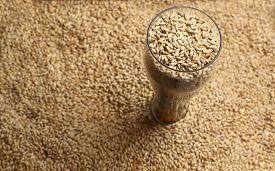 pic of malt  - Tall beer glass with barley malt grains on a layer of malt - JPG