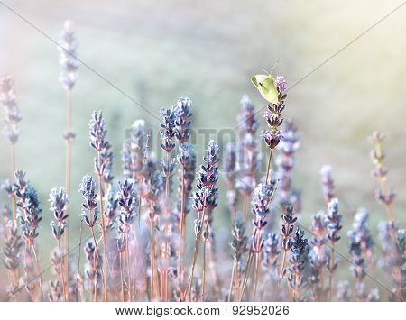 White butterfly on lavender flower