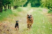stock photo of miniature pinscher  - Brown German Shepherd And Miniature Pinscher Zwergpinscher Running On Green Grass In Spring Garden - JPG