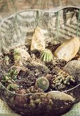 picture of plant species  - Various cacti planted in the glass bowl - JPG