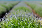 pic of lavender plant  - Aromatic lavender field. close-up of herbal plant