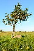 stock photo of pampas grass  - One single twisted and tormented tree growing beside stone boulder on grass plain - JPG