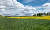 pic of rape  - Green cornfields and yellow blooming rape fields in a rural landscape - JPG
