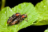 picture of mating  - Two beetles mating on a green leaf - JPG