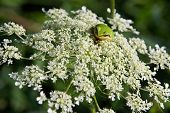 Pacific Tree Frog on Wild Carrot