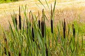 picture of cattail  - general view of a group of flowering cattail - JPG