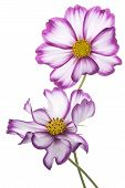 stock photo of cosmos flowers  - Studio Shot of Fuchsia Colored Cosmos Flowers Isolated on White Background - JPG